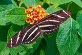 Zebra Longwing — Stock Photo