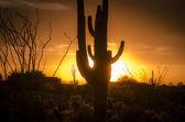 Az desert sunset with Saguaro cactus — Stock Photo