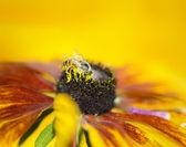 Abeille sur une fleur jaune, gros plan macro — Photo
