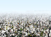 Cotton Landscape — Stock Photo