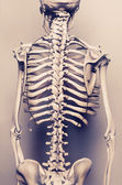 Human skeleton The back vertebral — Stock Photo