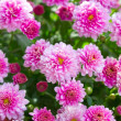 Pink chrysanthemums — Stock Photo