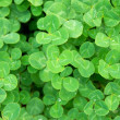 Clover — Stock Photo #29508379