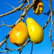 Pears on branches  — Stock Photo