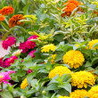Zinnia flowers. — Stock Photo