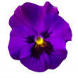 Purple violet flower  — Stock Photo