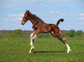 A foal galloping — Stock Photo