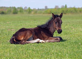 A dark-bay foal has a rest — ストック写真