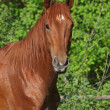 Portrait of pedigree chestnut horse — Stock Photo
