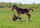 Potro e cães — Foto Stock