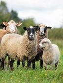 Sheep on a pasture — Stock Photo