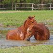 Royalty-Free Stock Photo: Two chestnut horse bath in a lake