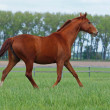 Brightly chestnut horse trots — Stock Photo