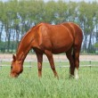 Stock Photo: Brightly chestnut horse grazes