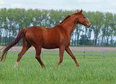 Brightly chestnut horse trots — Stock Photo