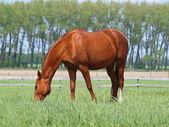 Brightly chestnut horse grazes — Stock Photo