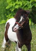 Portrét pony — Stock fotografie