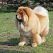 Chow-chow — Stock Photo