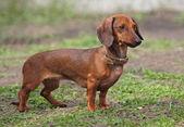 собака породы такса коричневого цвета — Стоковое фото