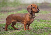 Dog of breed dachshund of brown color — Stockfoto