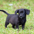 Amusing black puppy — Stock Photo