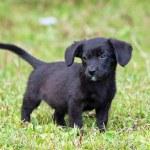 Amusing black puppy — Stock Photo