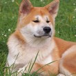 Portrait of dog Akita-inu  — Foto de Stock