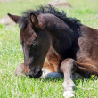 A dark-bay foal lies on a grass — Stock Photo