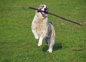 Large dog plays with a stick — Stock Photo