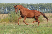 Young stallion trots — Stock Photo