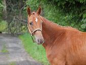 Retrato de caballo castaño — Foto de Stock