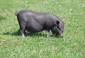 Mini pig on pasture — Stock Photo