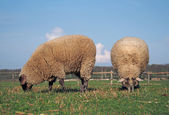 Two sheep grazing on a pasture — Stock Photo