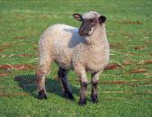 Sheep   on a summer pasture — Stockfoto