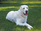 Dog of breed a central Asiatic sheep dog — Stock Photo