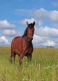 年轻的马在牧场上的肖像 — 图库照片