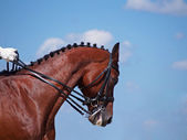 Head of sporting horse in a bridle — Stock Photo