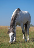 A grey horse  on the  summer meadow — Stock Photo