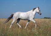 A grey horse trots on a summer pasture — ストック写真