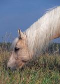 Palomino horse on a pasture — Stockfoto