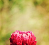 Beautiful red flower on the abstract background — Stock Photo