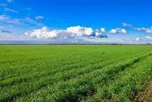 Champ de blé vert — Photo