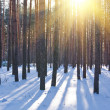 Stock Photo: Winter fiorest in rays of sun