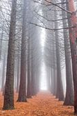 Pine tree forest in a mist — Stock Photo