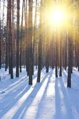 Winter fiorest in a rays of sun — Stock Photo