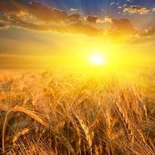Campo de trigo en un rayos de sol — Foto de Stock