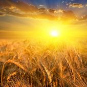 Wheat field in a rays of sun — Stock Photo