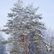 Pine trees in a snow — Foto Stock