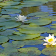 Stock Photo: River with lilies