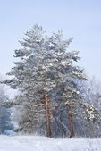 Pine trees in a snow — Stock Photo